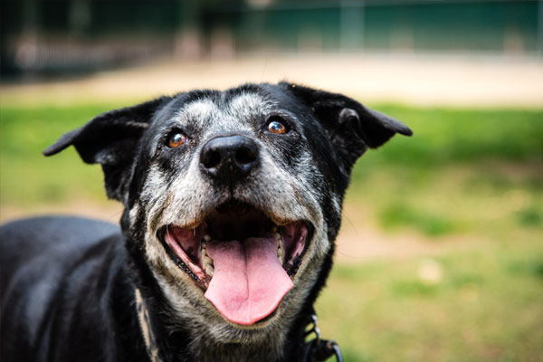 Portrait of a happy old dog at the dog park