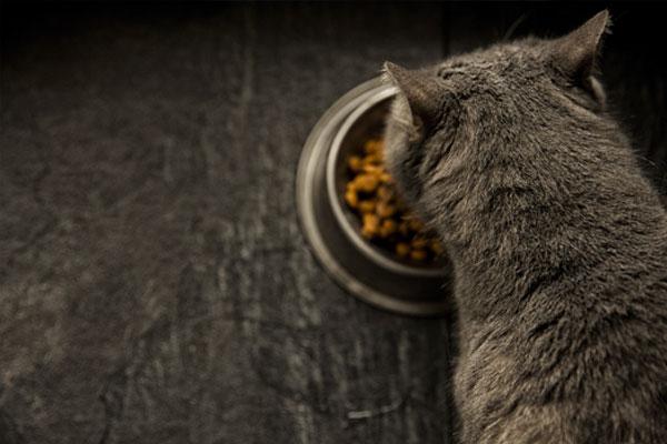 Grey cat eating food