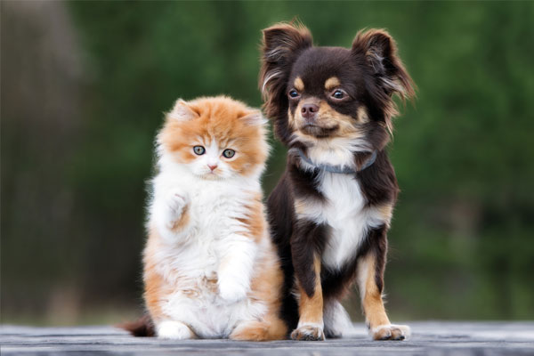 adorable chihuahua dog and kitten posing together outdoors