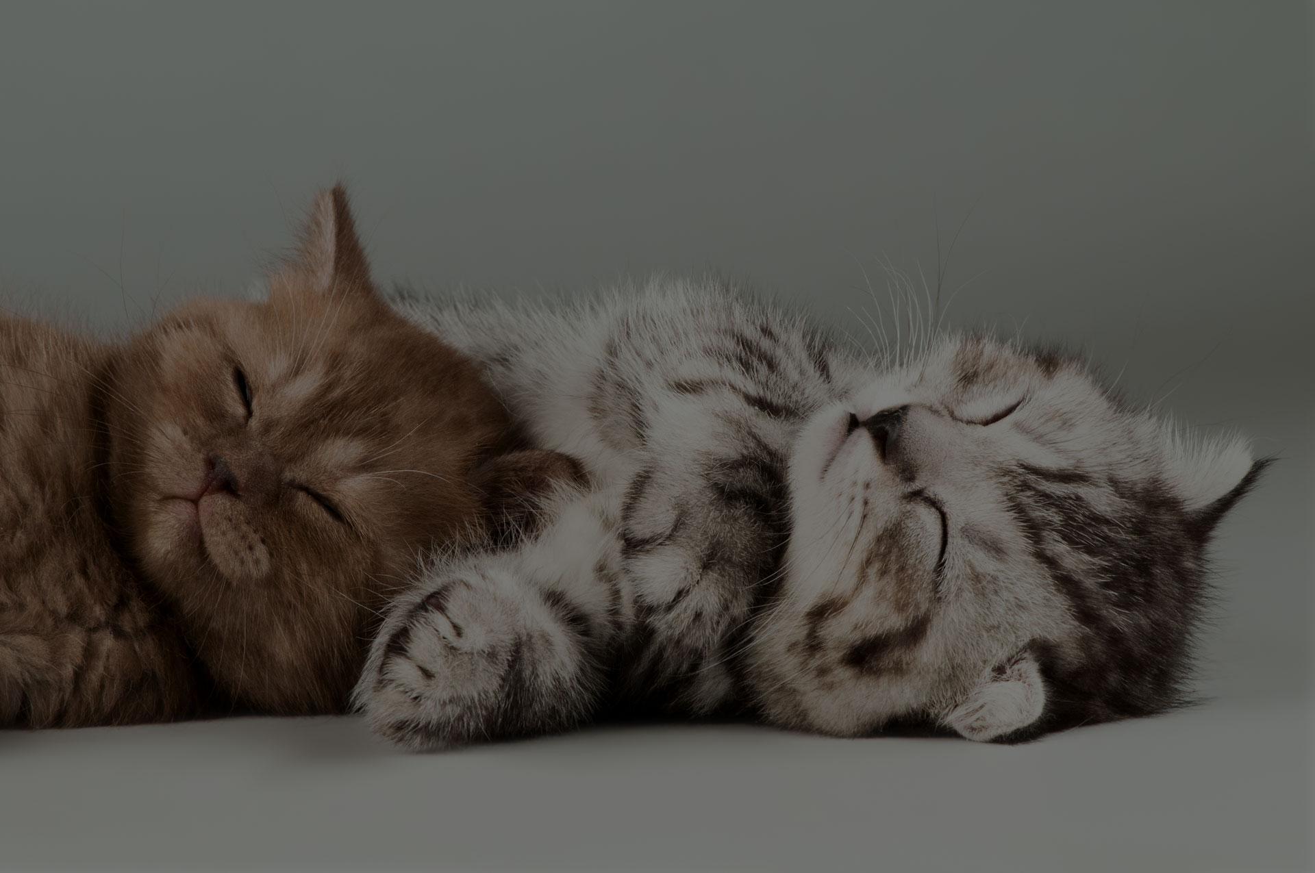 two fluffy gray beautiful kitten