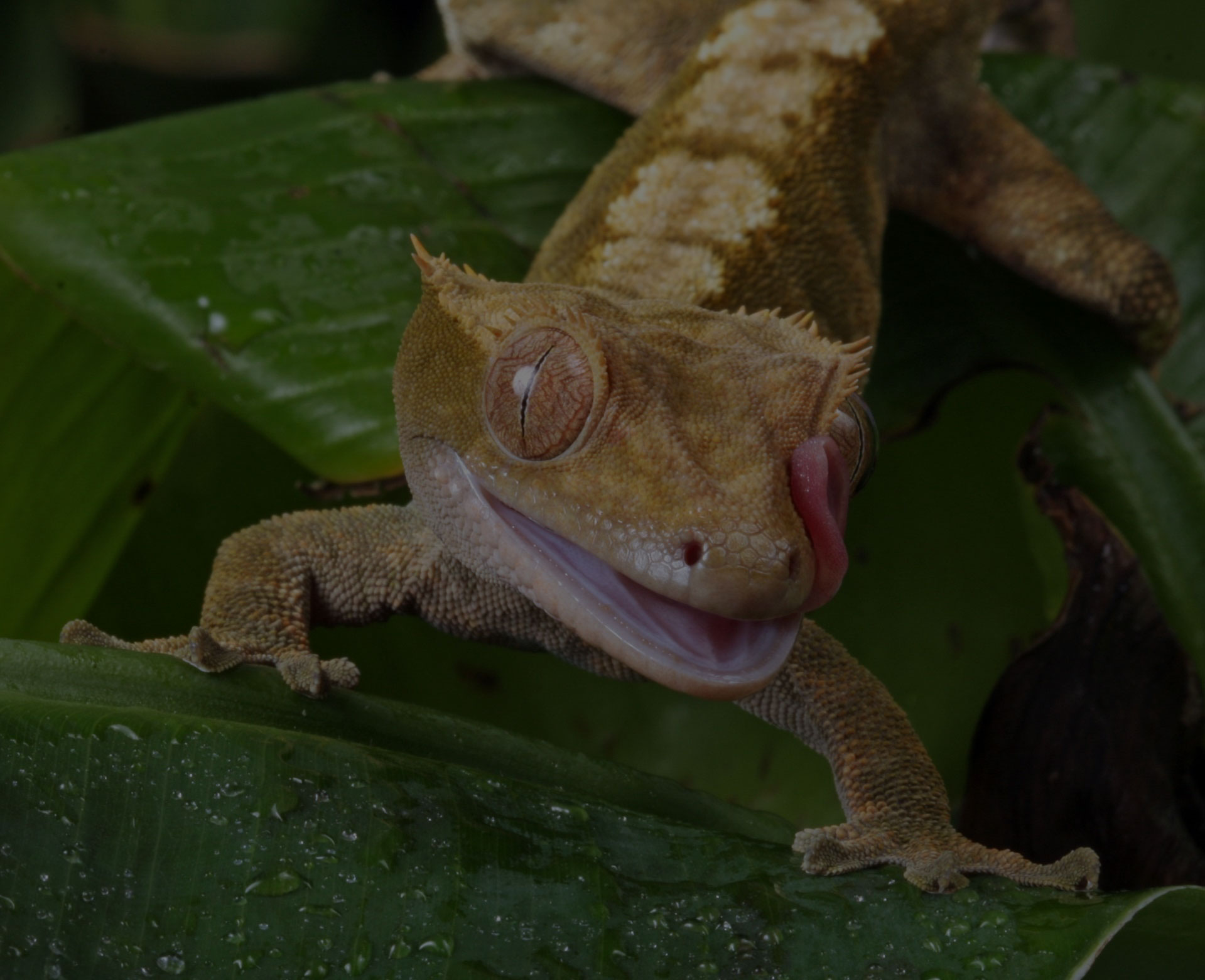 Gecko tongue flicking macro