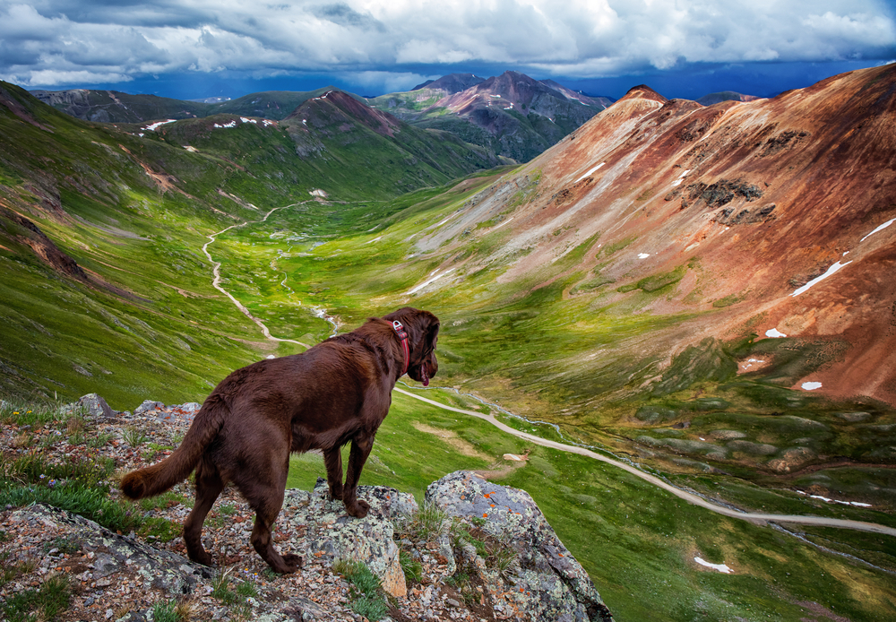 Colorado Mountain dog